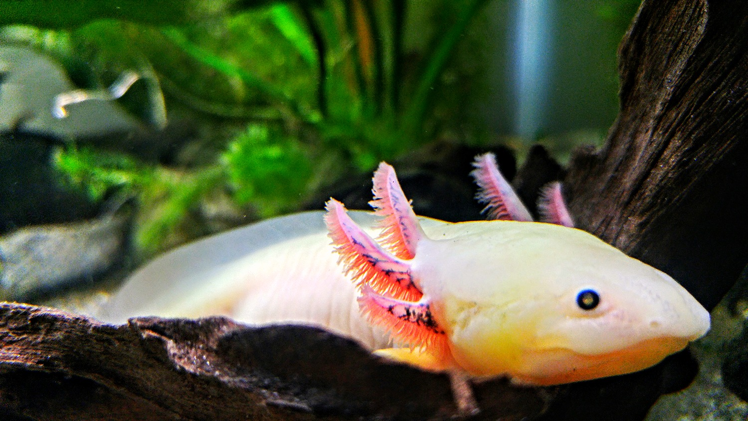 What do axolotls eat? [Axolotl Diet Guide 101]