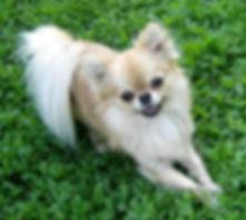 Чихуахуа купить щенки питомник Новосибирск