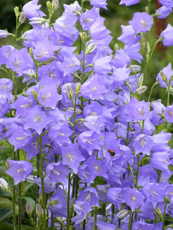 Колокольчик многолетние цветы