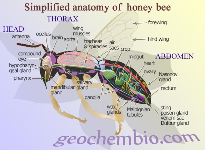 Sky Meadows Nature Guide Bee Anatomy