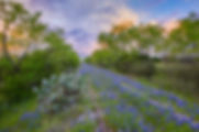 Bluebonnets along Train Tracks 3.jpg