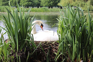 swan-web.jpg