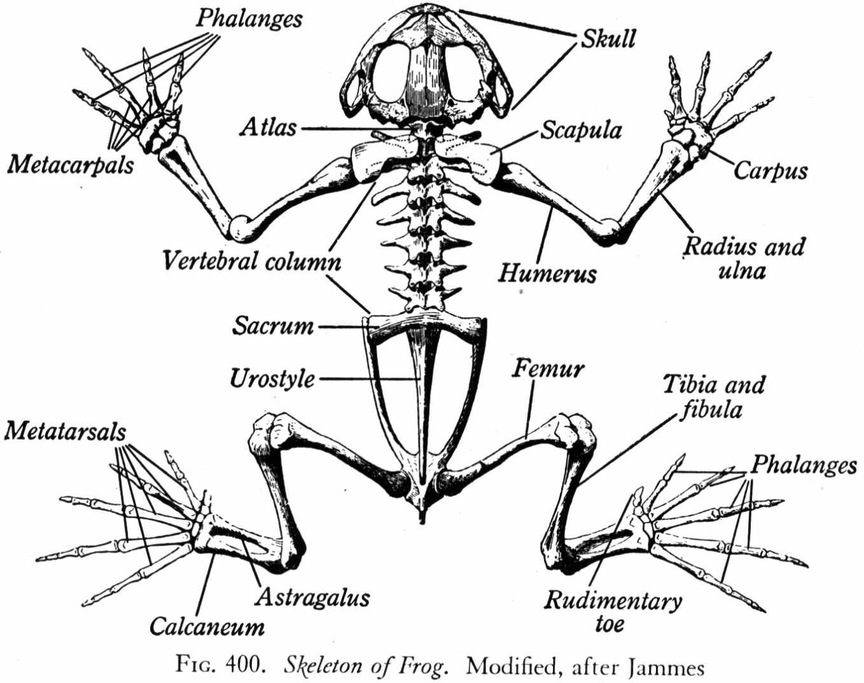 The Frog Skeleton | reconstruction