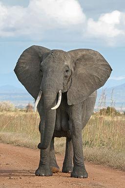 400px-African_Bush_Elephant.jpg