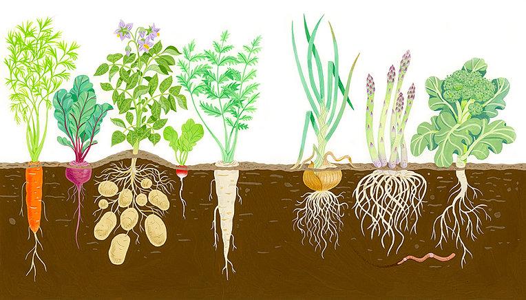 Root Vegetables Root Vegetables Growing