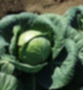 premiere_cabbage-1024x1024.jpg
