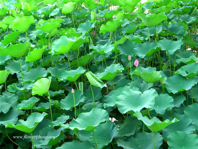 Lotus-flower_13.jpg