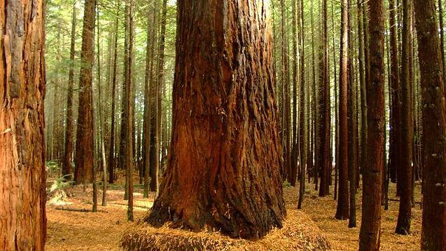 Redwoods NationalState Parks.jpg