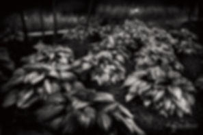 Dusk Leaves, Torontoplantsfinal-1.jpg