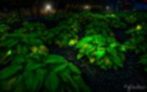 Dusk Leaves, Toronto