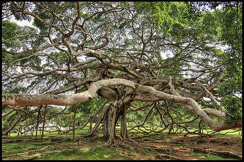 entangled tree.jpg