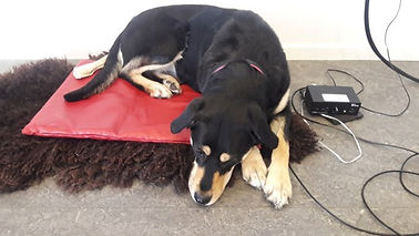 dog on vibro pillow.jpg