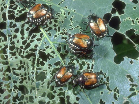 Japanese Beetle Issues