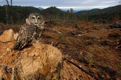 owl-in-clearcut