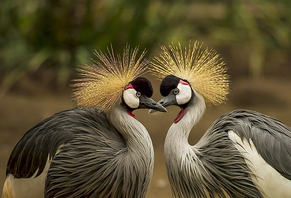 Grey-Crowned-Crane-Crane