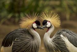 Grey-Crowned-Crane-Crane