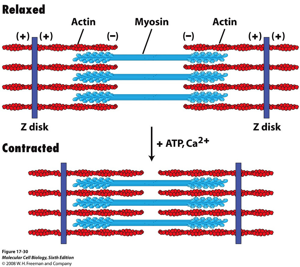 Diagram of how muscle filaments work