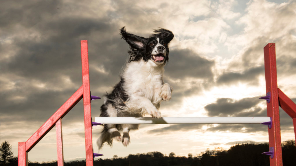 Agility Classes, Agility Class, Agility Training Carmarthenshire