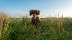 Cocker spaniel, sprocker, Llanllwni, Perry Bespoke Photography, Dog photography Wales, pet photograp