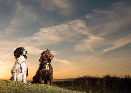 Thistle and Figgs, Spaniel, Springer, Co