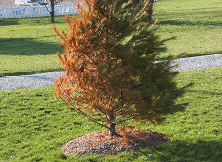 Winter Burn of Evergreens