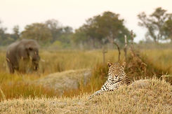 40Tuludi - Leopard and elephant.JPG.jpg