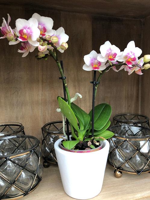 Phalaenopsis Orchidee, weiß-rosa