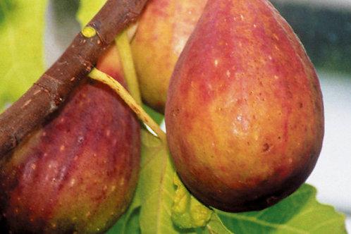 Feige / Ficus carica NORDLAND BERGFEIGE C5