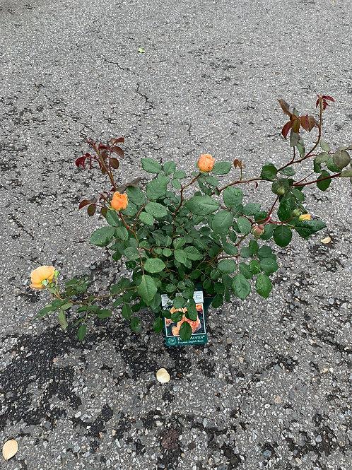 CROWN PRINCESS MARGARETA David Austin Fragrant English Rose