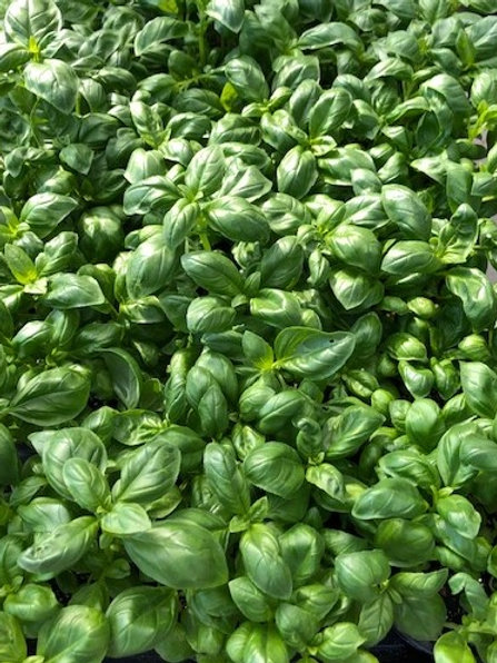Kräuter-, Gewürzpflanze Basilikum   Ocimum basilicum T: 11cm
