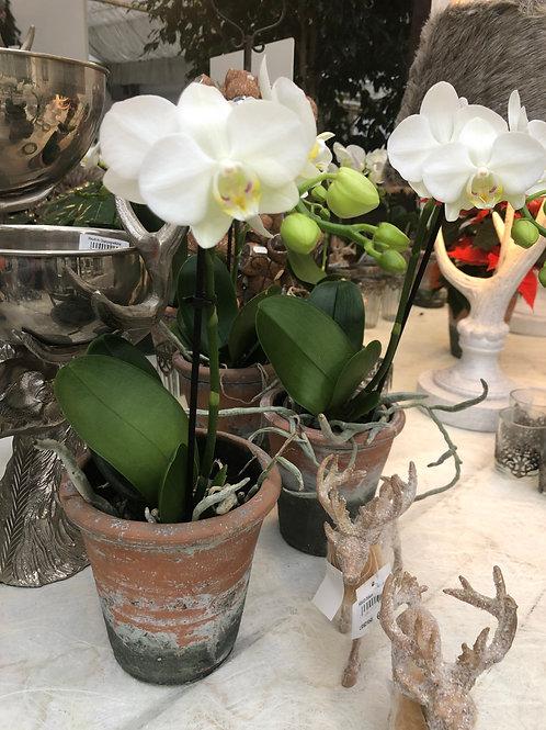 Phalaenopsis Orchidee, weiß