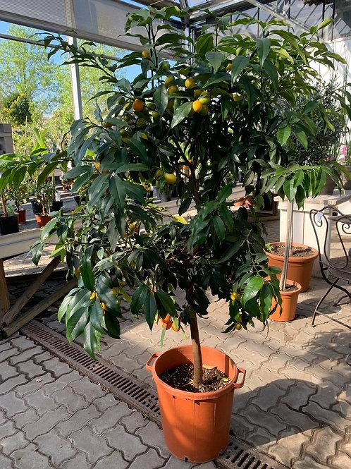 Citrus fortunella Kumquat - Stamm
