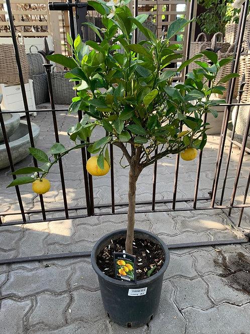 Citrus Purscha - Zitronenbaum Stamm