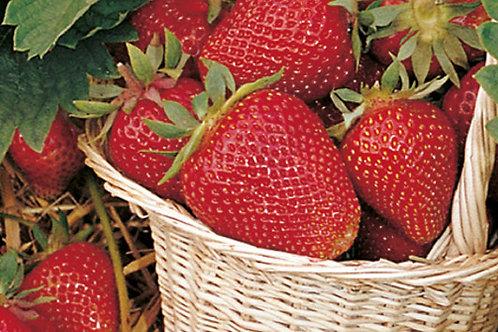 Erdbeeren einmaltragend in 6er Schale THURIGA