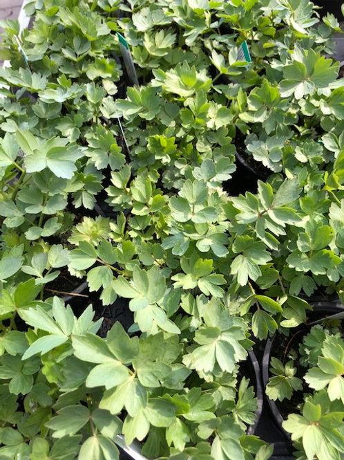 Kräuter-, Gewürzpflanze Liebstock | Levisticum officinale T: 11cm