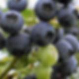 Zwergheidelbeere_Blue Sapphire.jpg