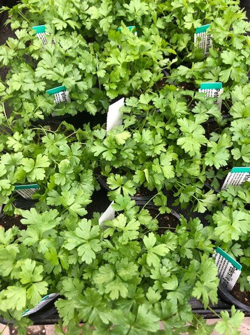 Kräuter-, Gewürzpflanze Petersilie glatt | Petroselinum hortense T: 11cm