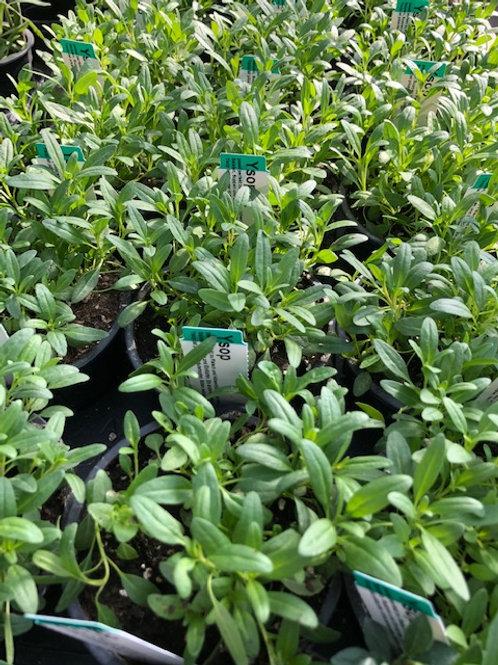 Kräuter-, Gewürzpflanze Ysop | Hyssopus officinalis T: 11cm