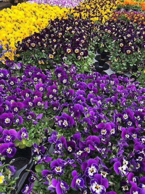 Viola cornuta/Mini Stiefmütterchen Topf 9cm