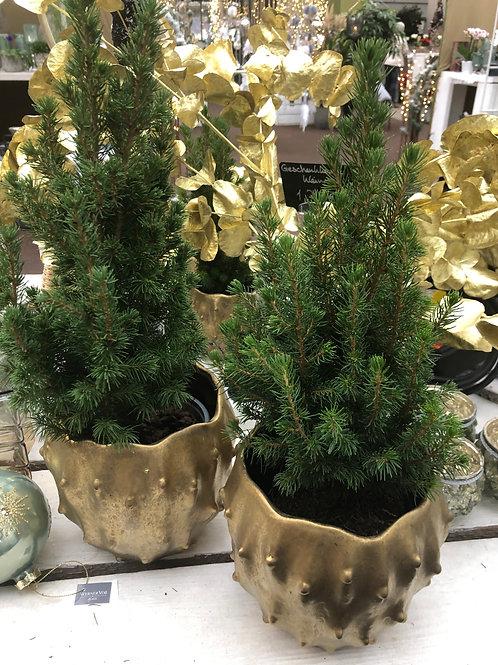 Picea glauca, verschiedene Größen ab