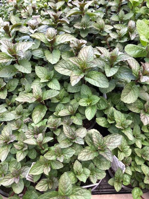 Kräuter-, Gewürzpflanze Pfefferminze | Mentha piperita T: 11c