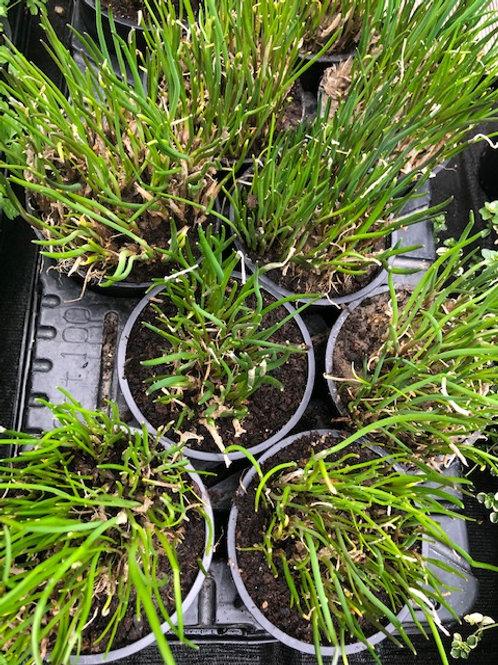 Kräuter-, Gewürzpflanze Schnittlauch | Alium schoenoprasum T: 12c