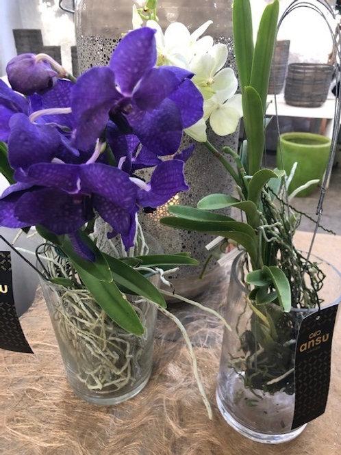 Vanda Orchidee, ohne Glas
