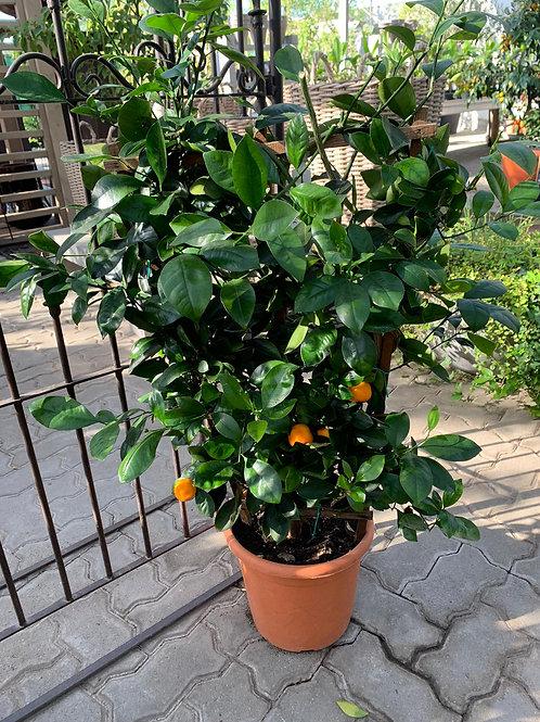 Citrus Spallier