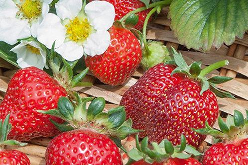Erdbeeren immertragend in 6er Schale SISKEEP