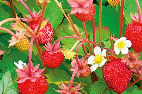 Erdbeeren immertragend in 6er Schale Walderbeere ALEXANDRIA