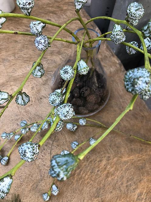 Eucalyptus mit Früchten, per Stiel