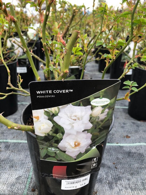 Rose White Cover, C2