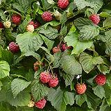 Arc_Plus_Zwerghimbeere BonBonBerry Yummy