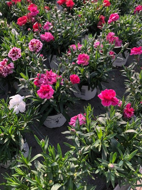 Topfnelke / Dianthus versch. Farben Topf 10cm